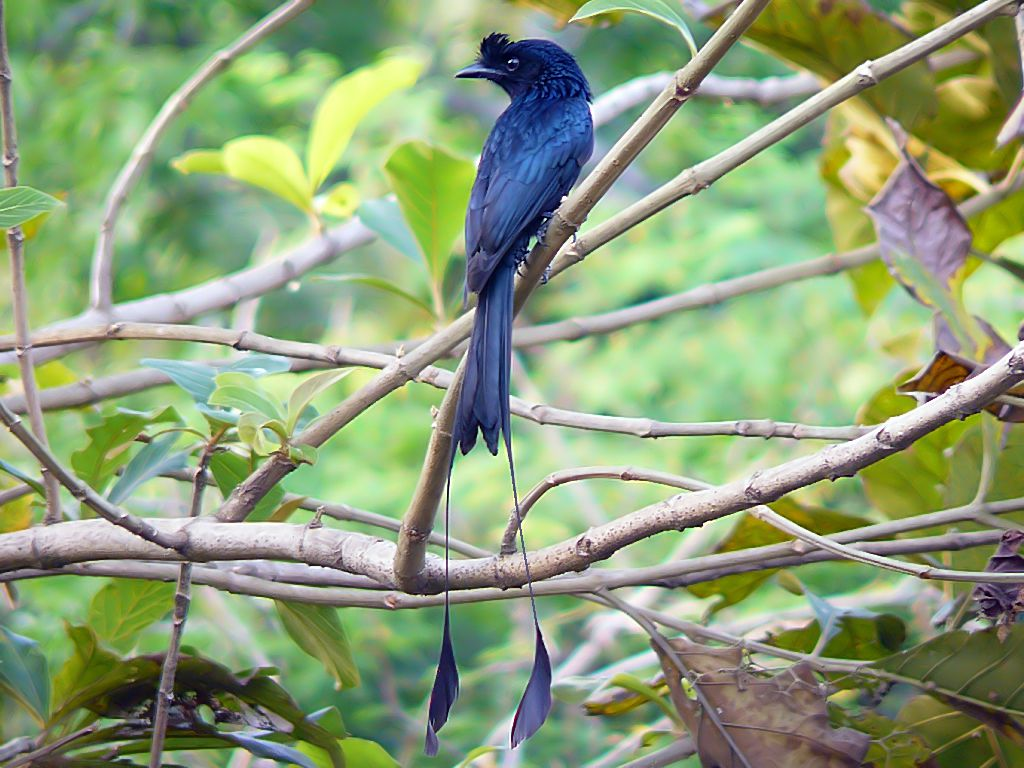 Greater racket-tailed drongo with deep blue feathers perches on tree branch in forest setting