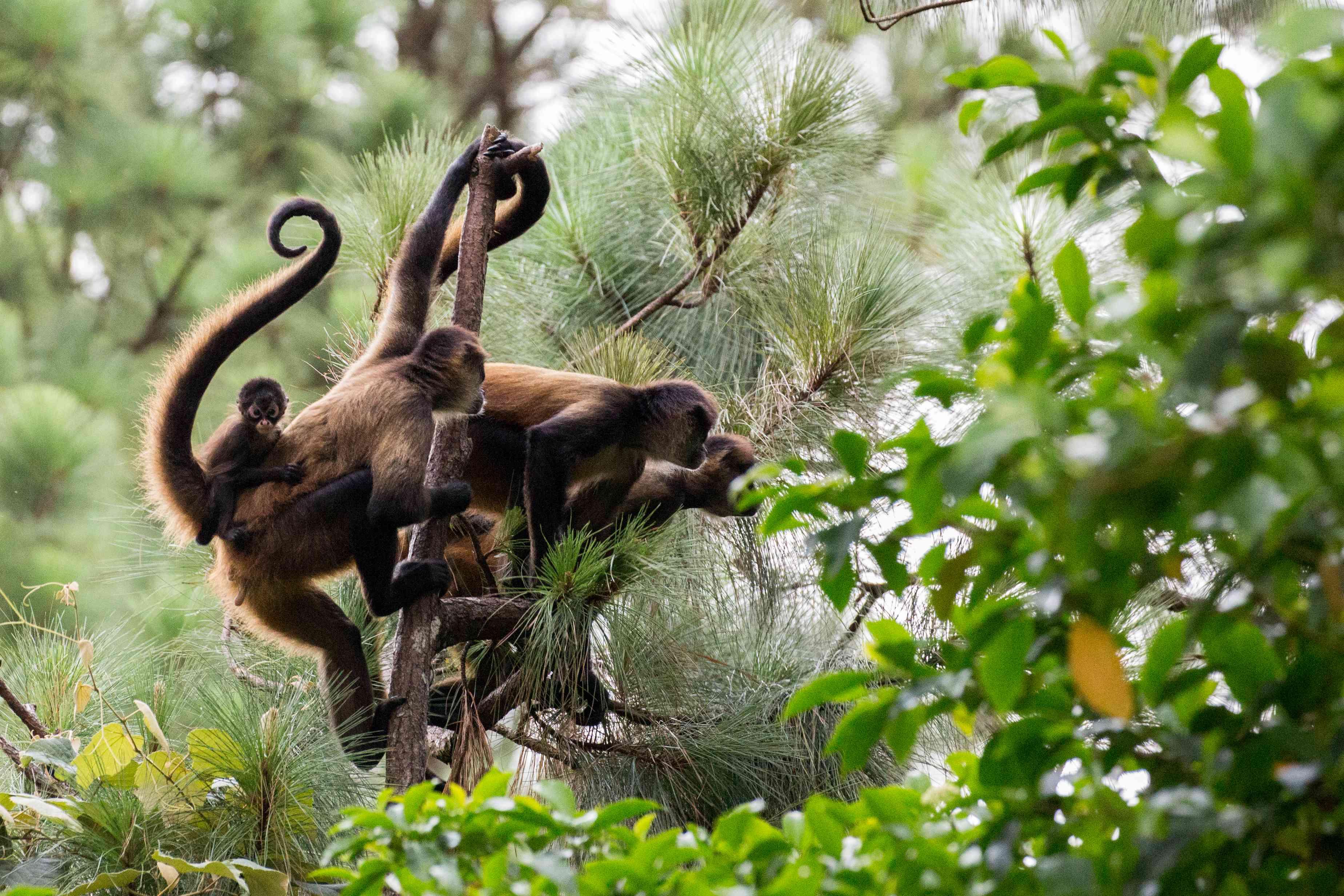 troop of spider monkeys in Costa Rica