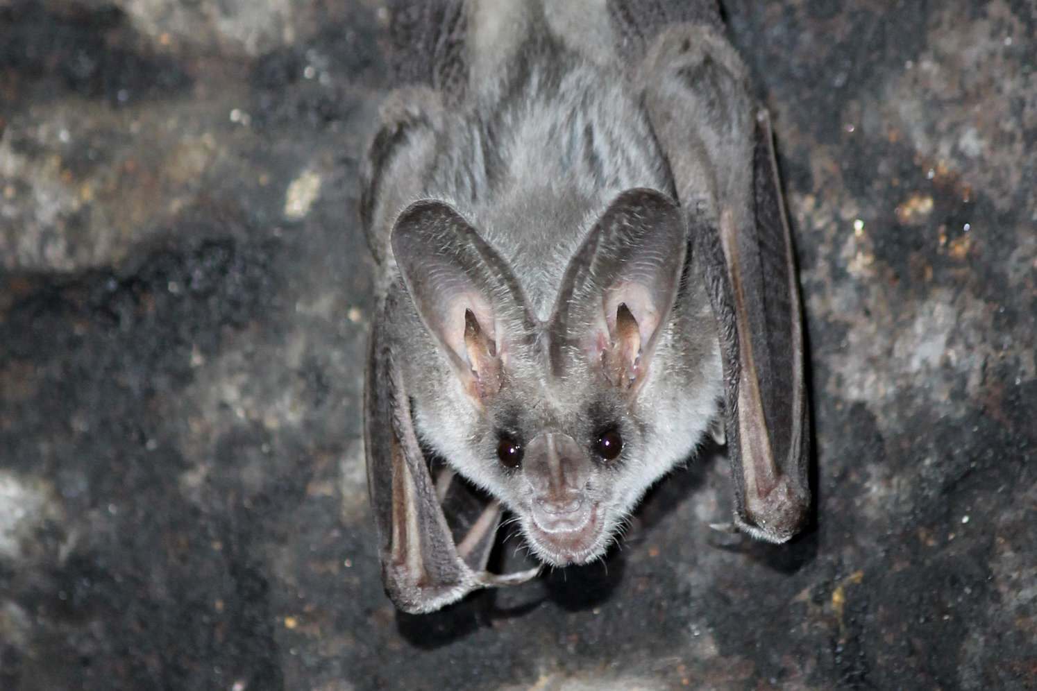 A gray bat hangs from its feet in a rocky cave