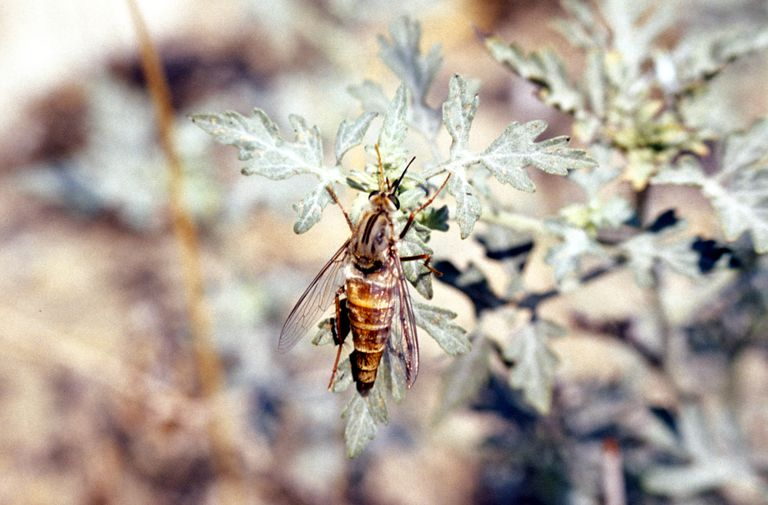 Close up of a Dehli sands flower-loving fly on a green leaf