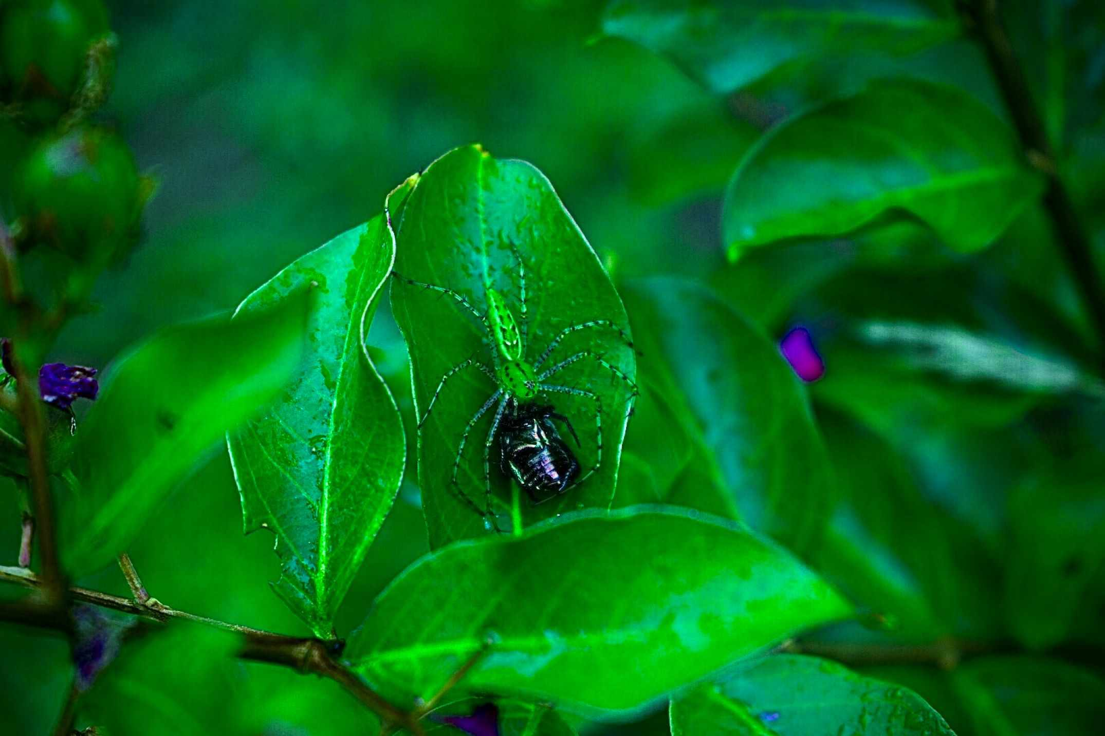 A green lynx spider captures a Japanese beetle in North Carolina.
