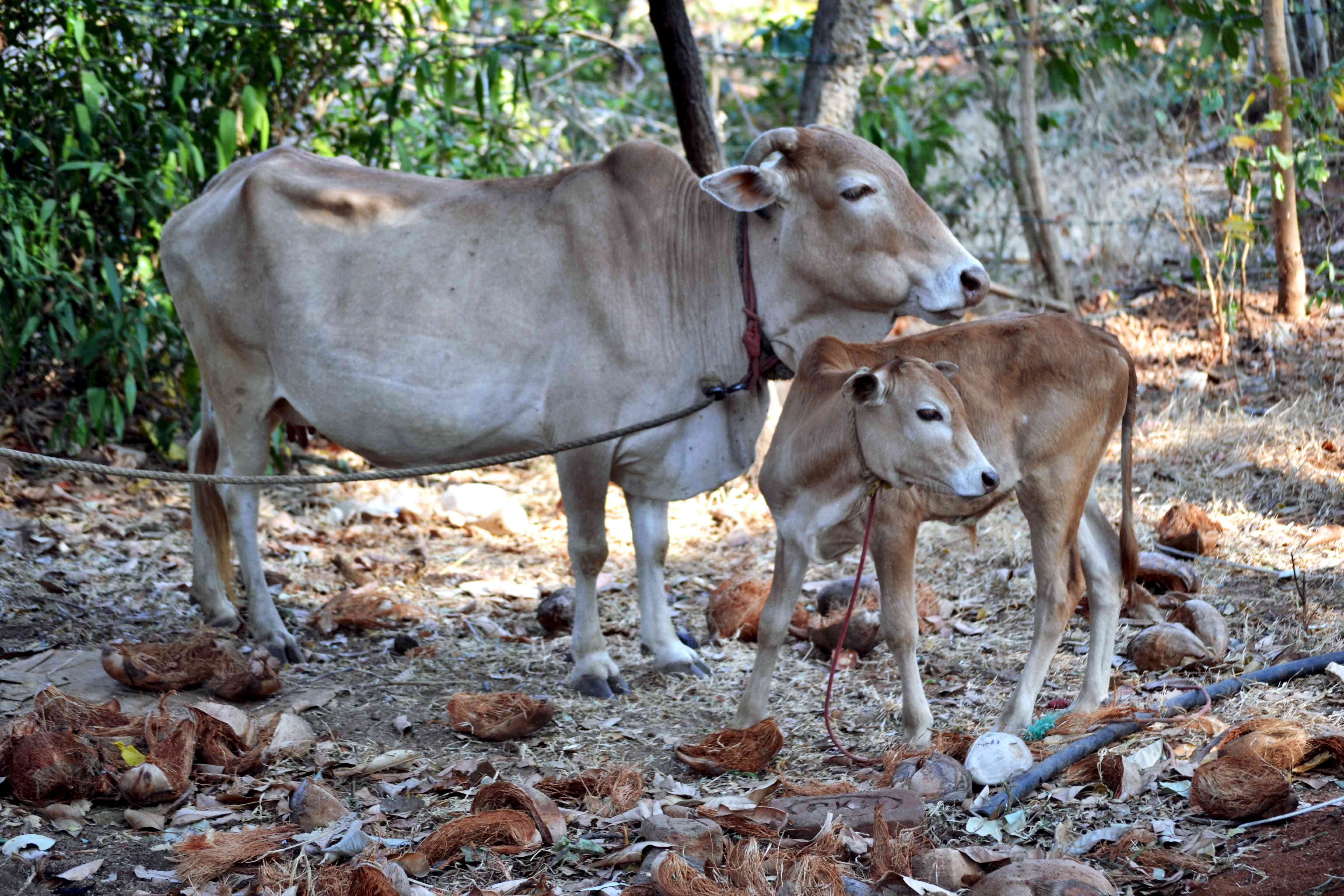 A tan vechur cow and and a brown and tan calf, standing next to green trees