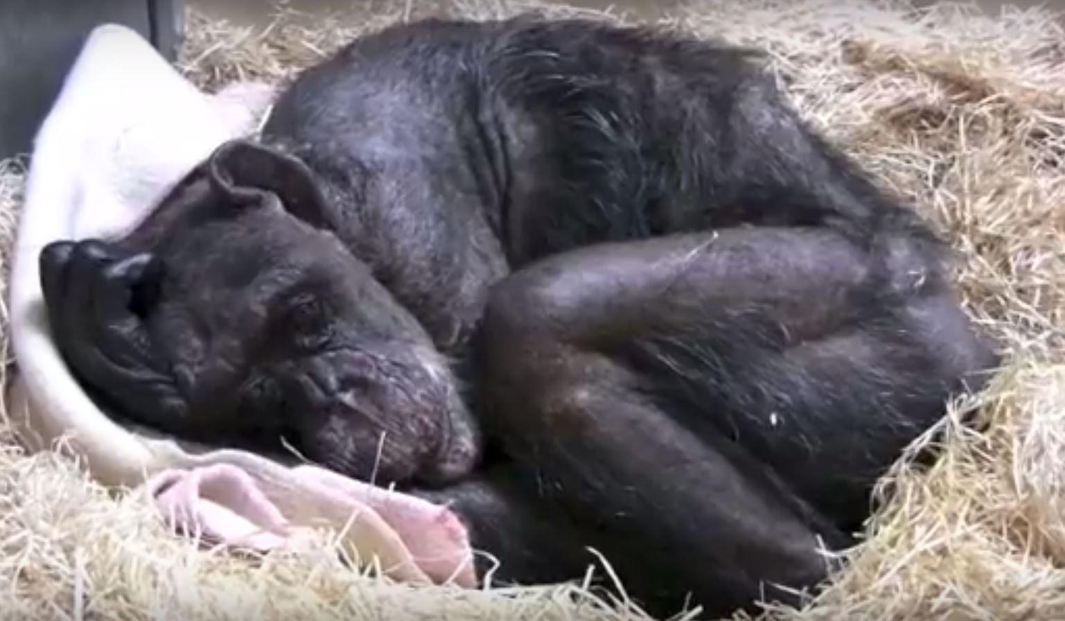 Sick chimpanzee lays in straw