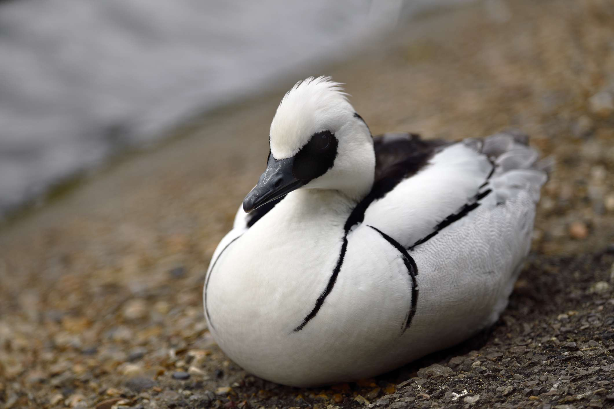 Male smew resting on the shore