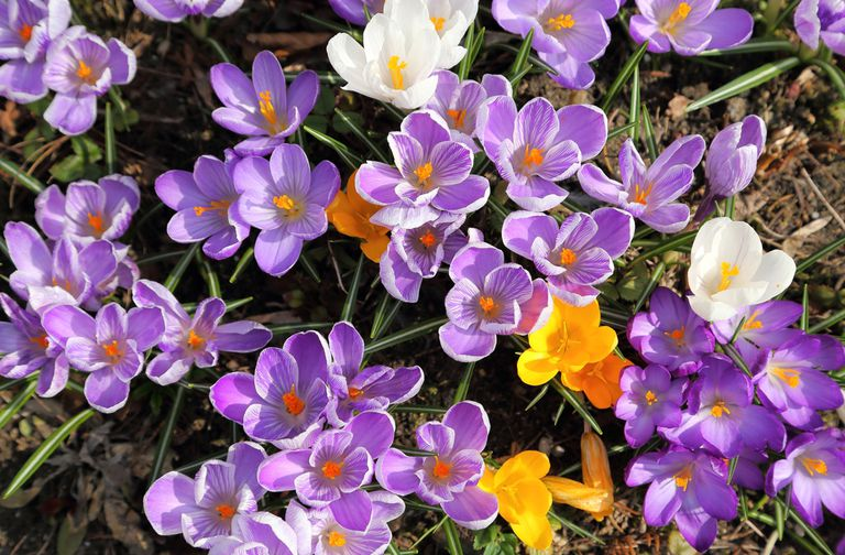 colorful crocuses blooming