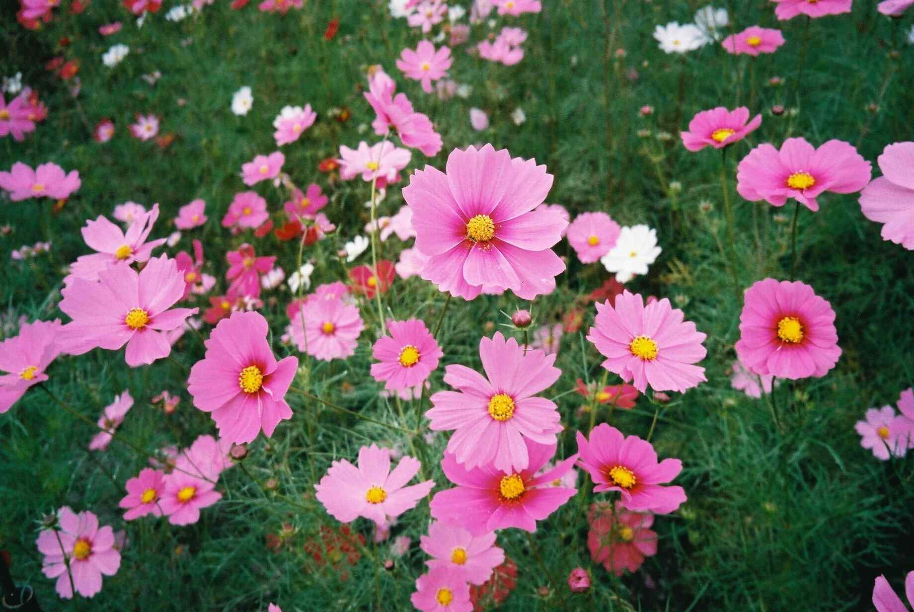 Close-up of pink cosmos growing in a field