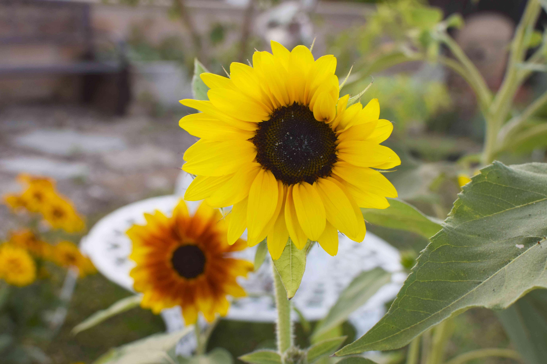 crop of sunflowers in full bloom in personal garden