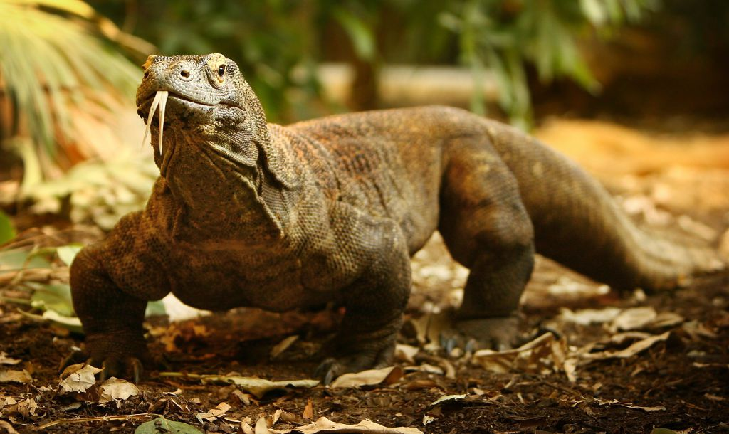 A Komodo dragon sticks its tongue out on a bed of fallen leaves.