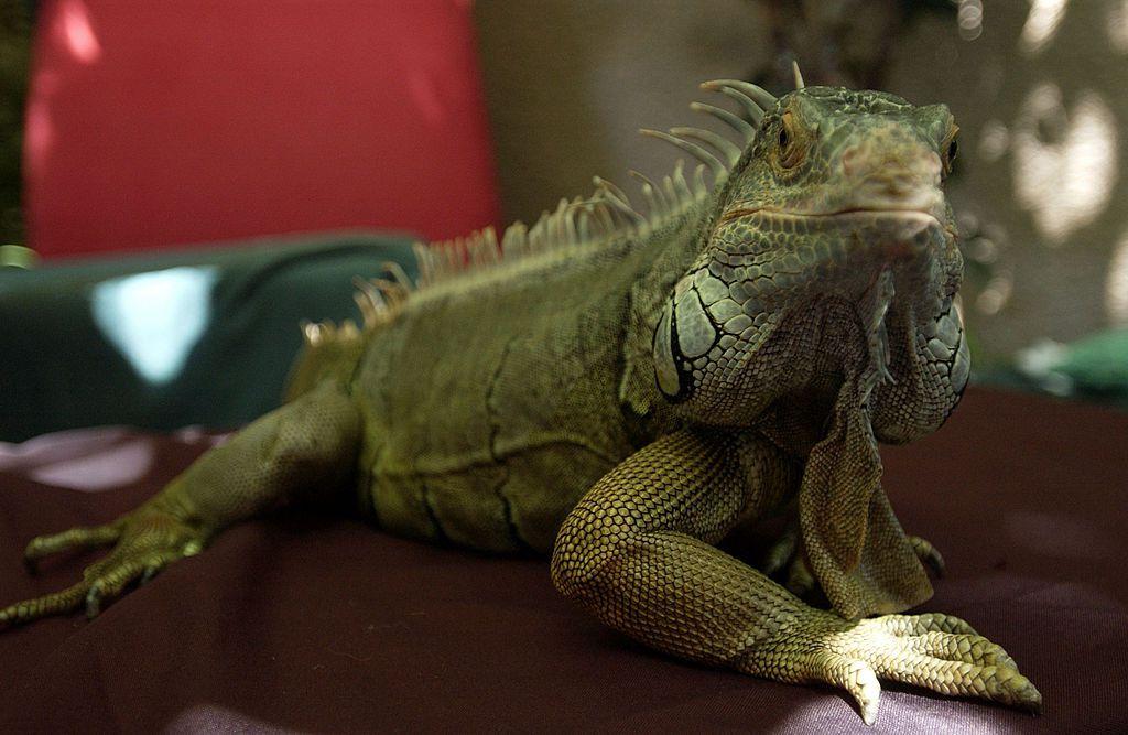 A green iguana sits on a table.