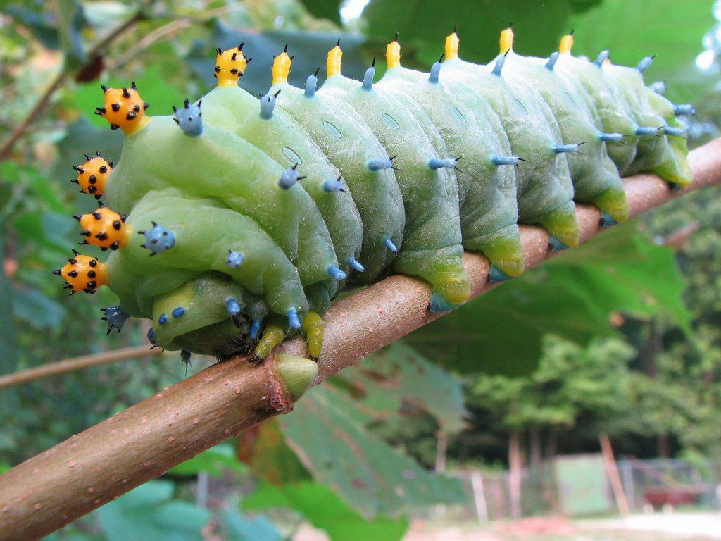 a green cecropia moth caterpillar with yellow and blue protuberances on a brown stem