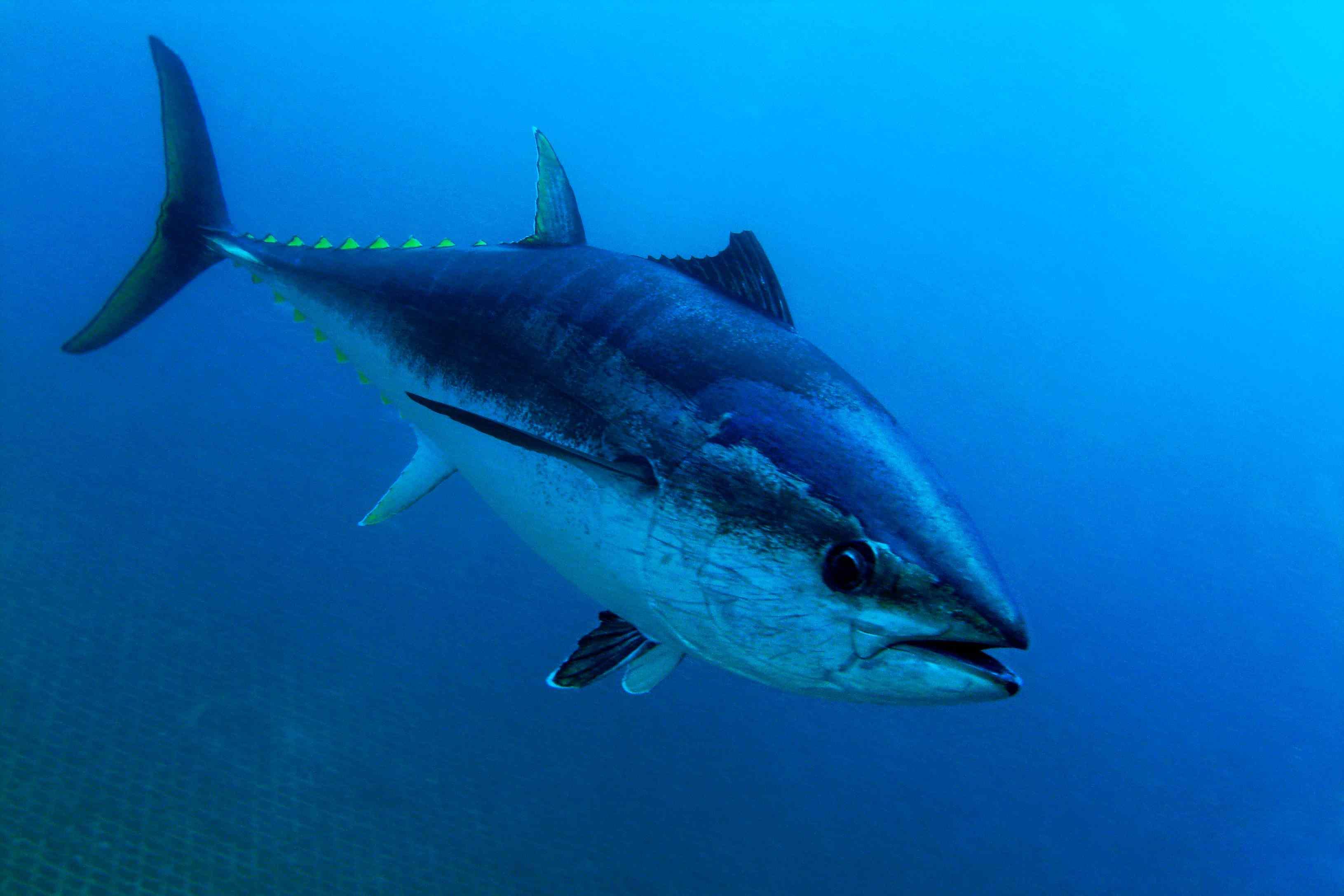 underwater closeup of bluefin tuna swimming to the right