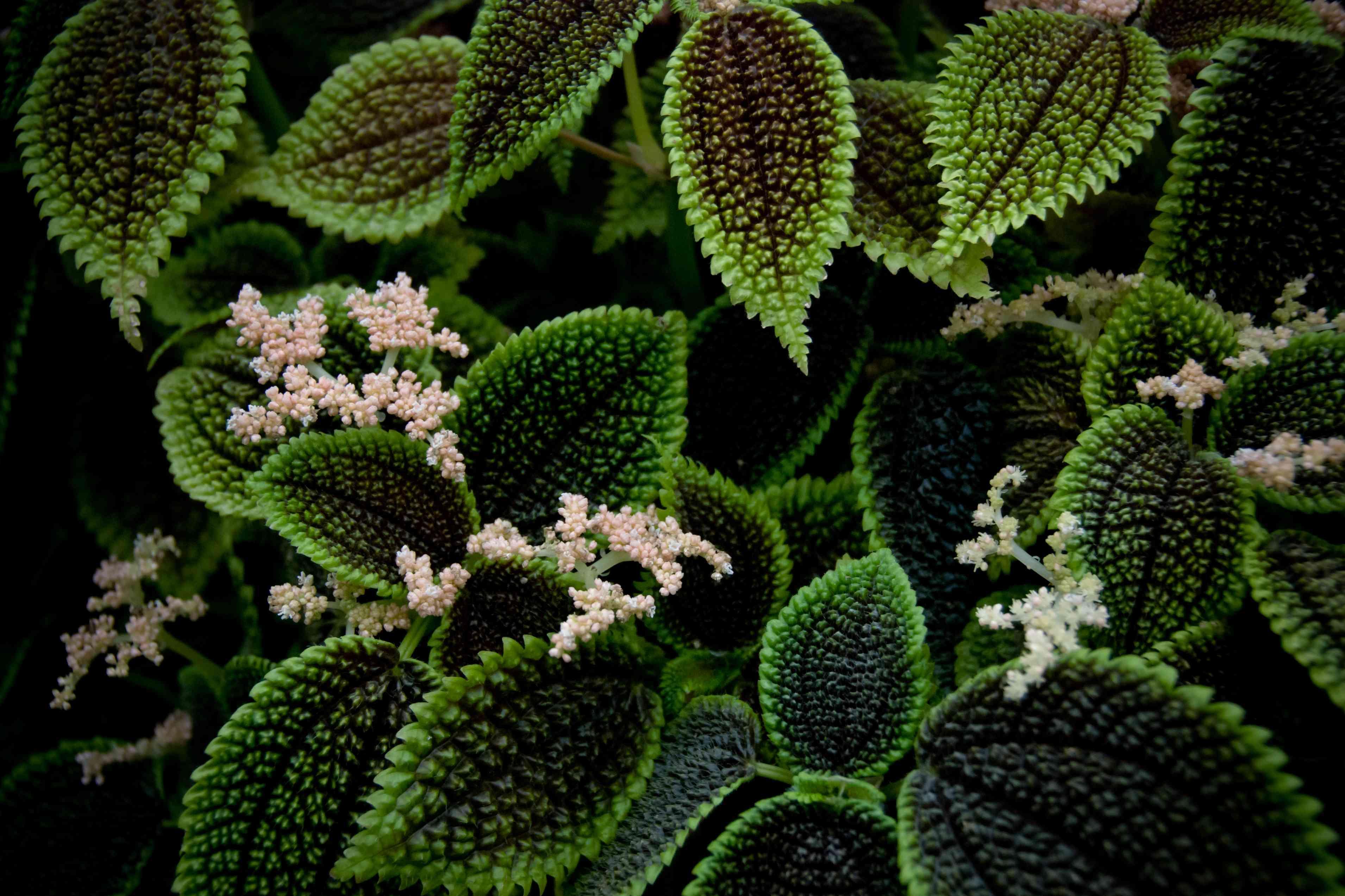 Friendship plant, Pilea involucrata, with blooms