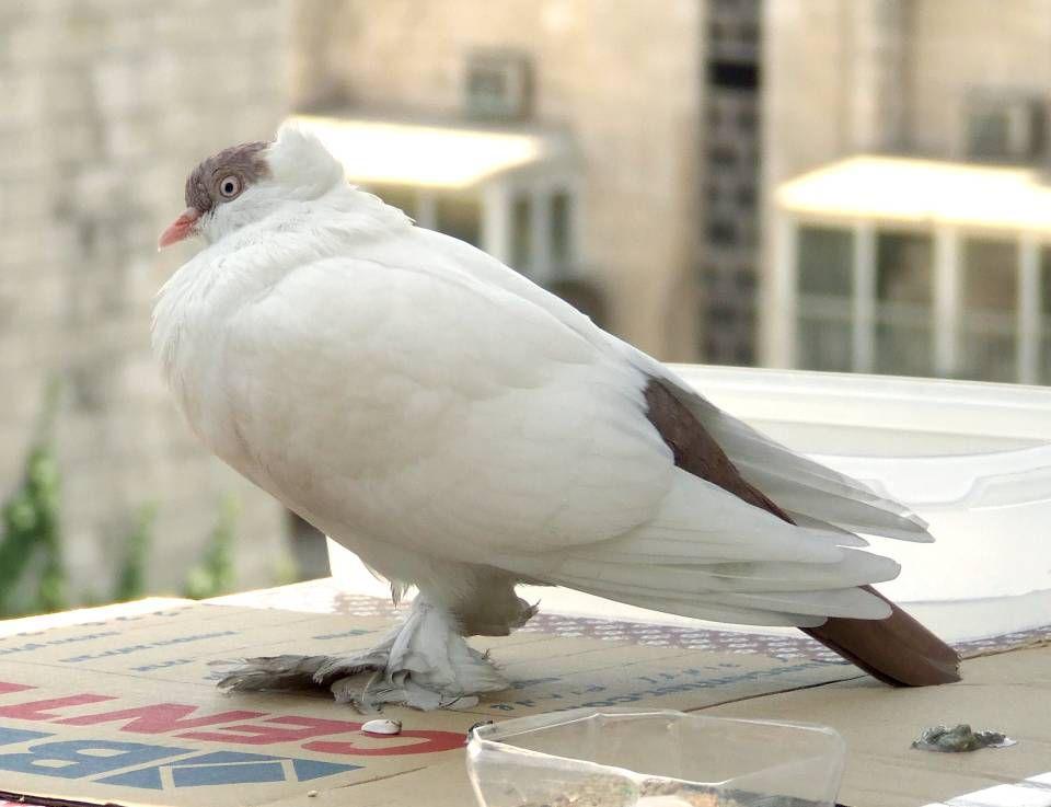 Side view of Polish helmet pigeon standing on cardboard