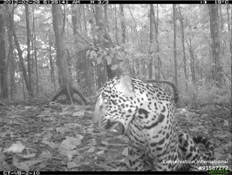 A jaguar photographed in Braulio Carrillo National Park, Costa Rica, by a Tropical Ecology Assessment and Monitoring (TEAM) Network camera trap.