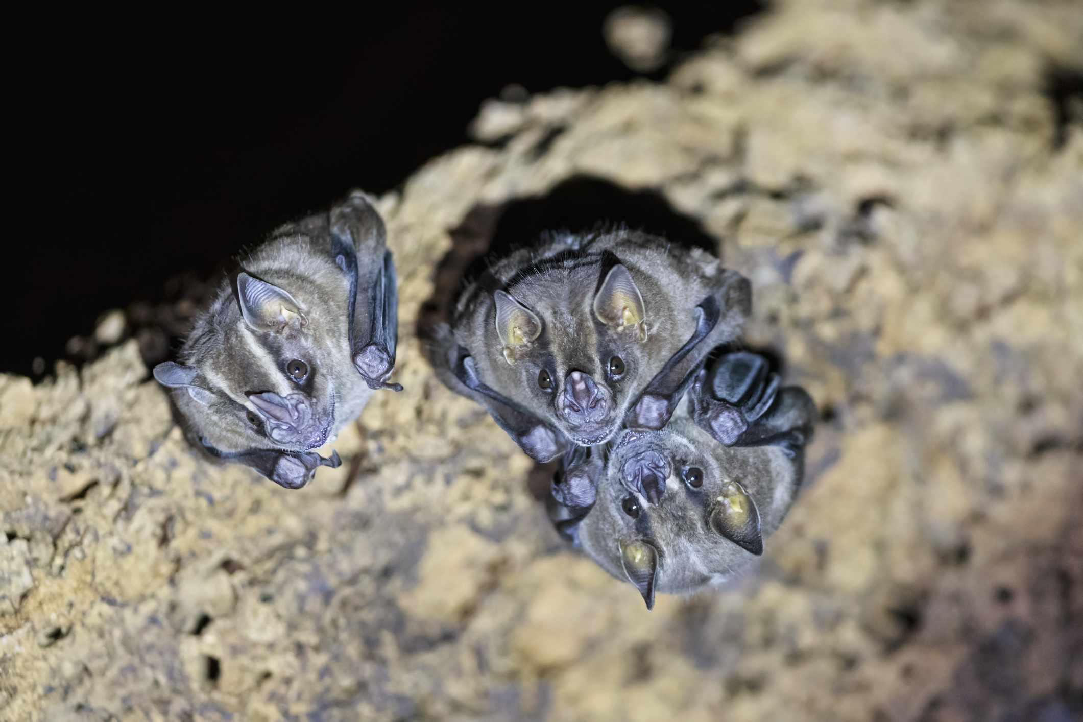 Vampire bats in Manu National Park, Peru