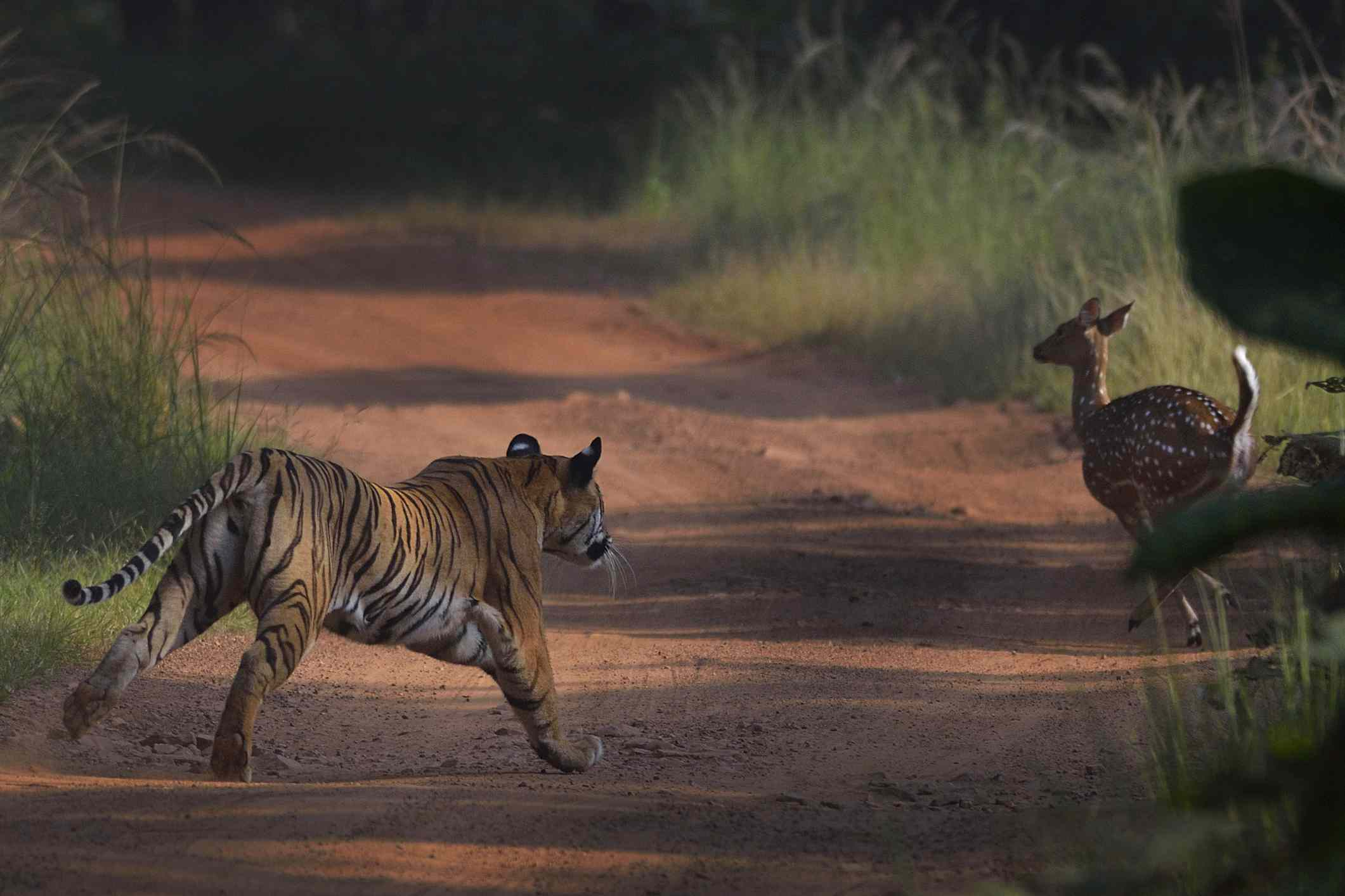 A tiger chases a deer at Tadoba Andhari Tiger Project in Maharashtra, India