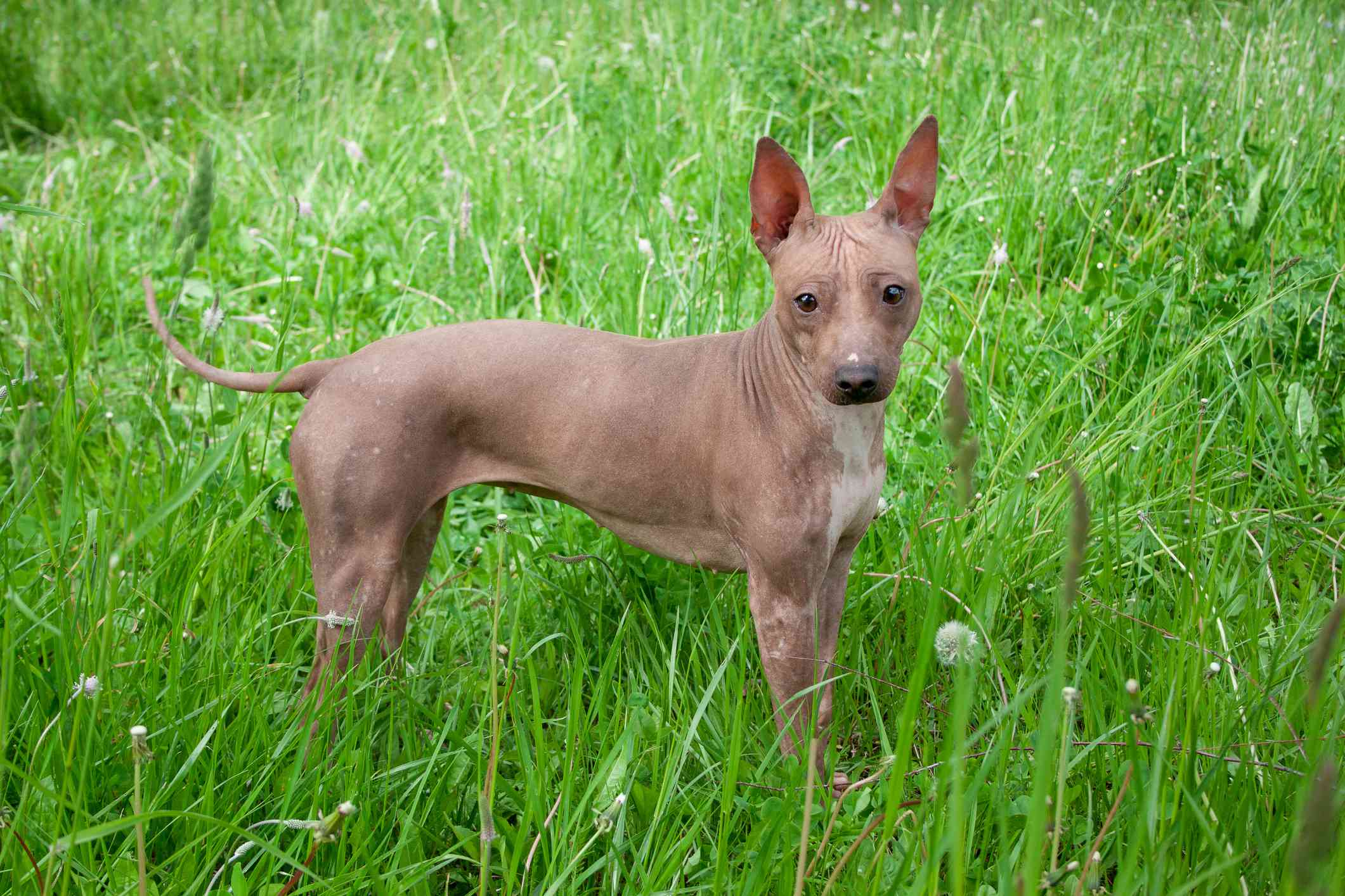 brown American hairless terrier standing in tall green grass