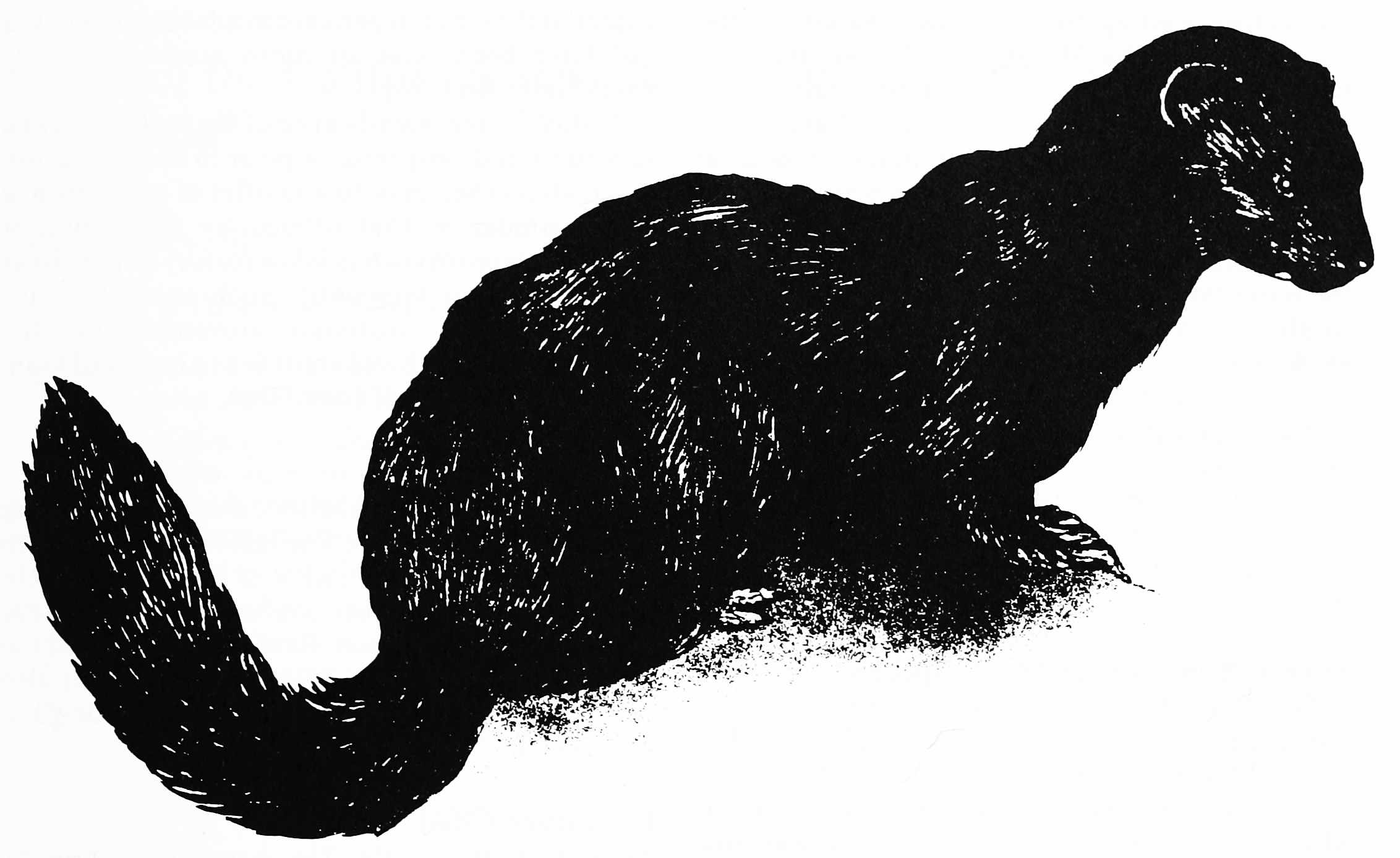 Black and white pen and ink drawing of a sea mink