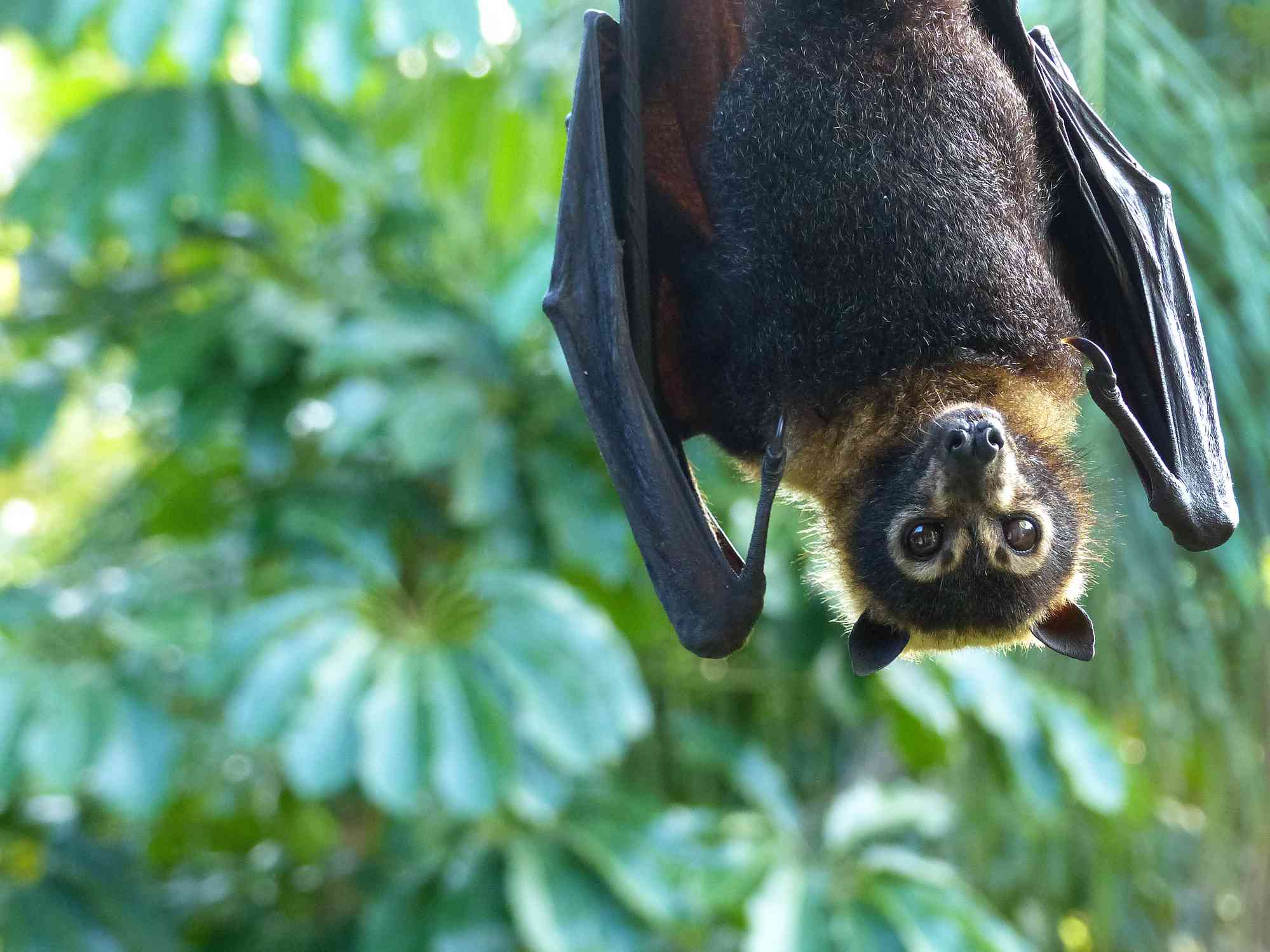 A spectacled flying fox hangs upside down