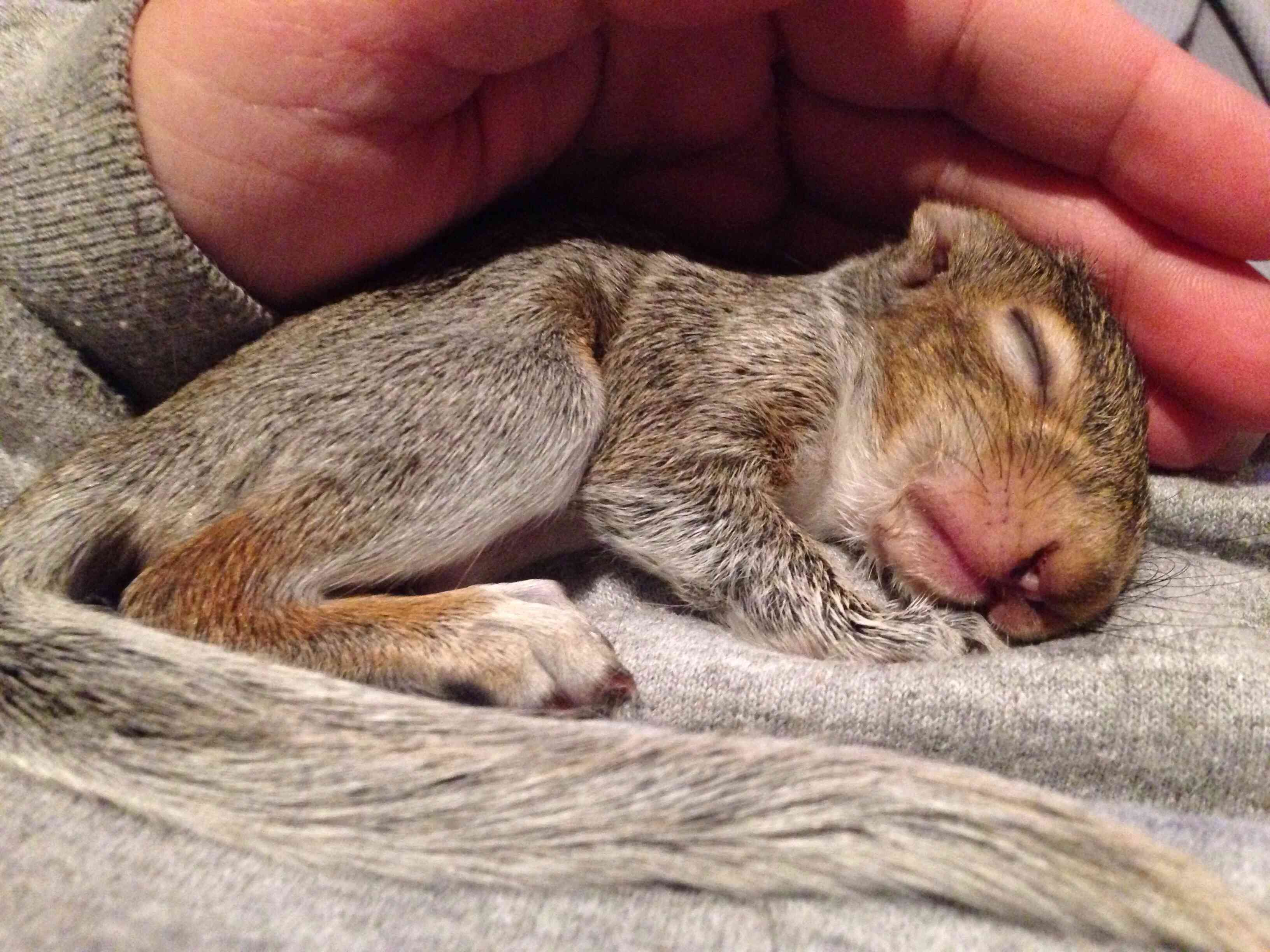 Baby squirrel sleeping on a person