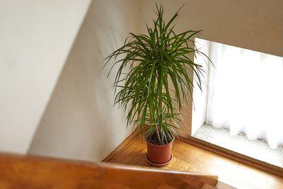a tall dracaena dragon tree houseplant at stairs ledge near large window