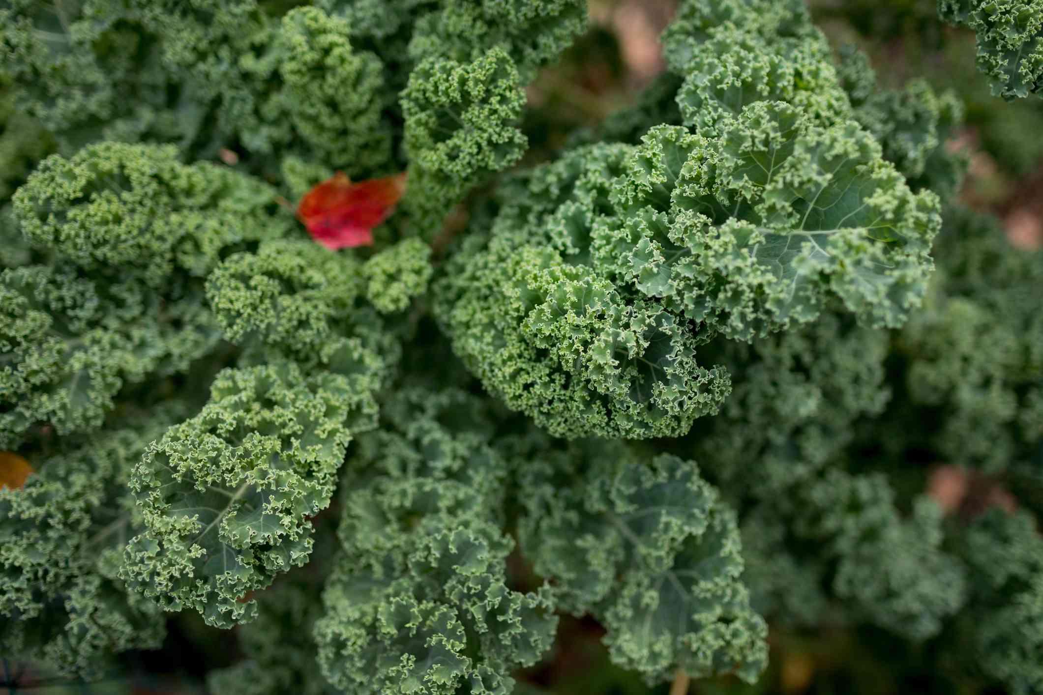 A closeup shot of a kale plant in a garden