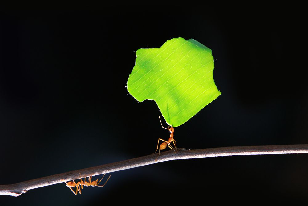 leaf cutter ants walking on twig. The ant on the upper side of the twig is holding a large piece of leaf in its mouth