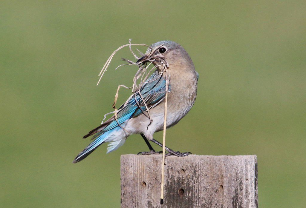 A mountain bluebird with a clump of dried grass in its beak