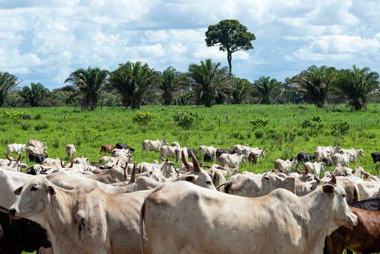 Cattle Grazing in Brazil