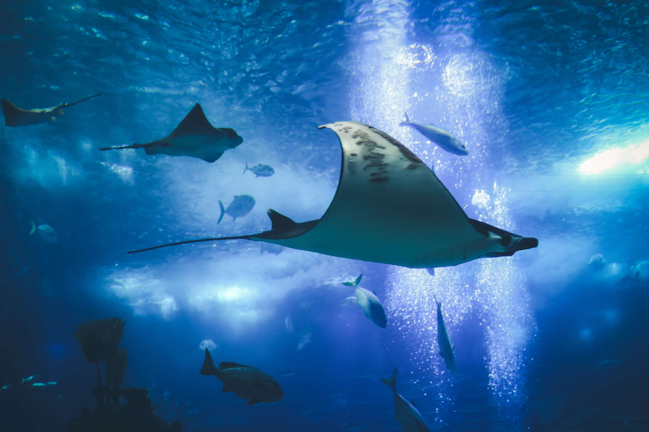Stingrays and fish swimming in the blue water of the Lisbon Oceanarium