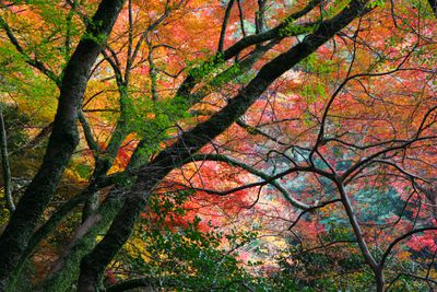 multiple mature trees with long branches filled with autumn color