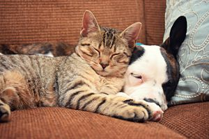 Tabby cat and dog sleeping next to each other on a sofa