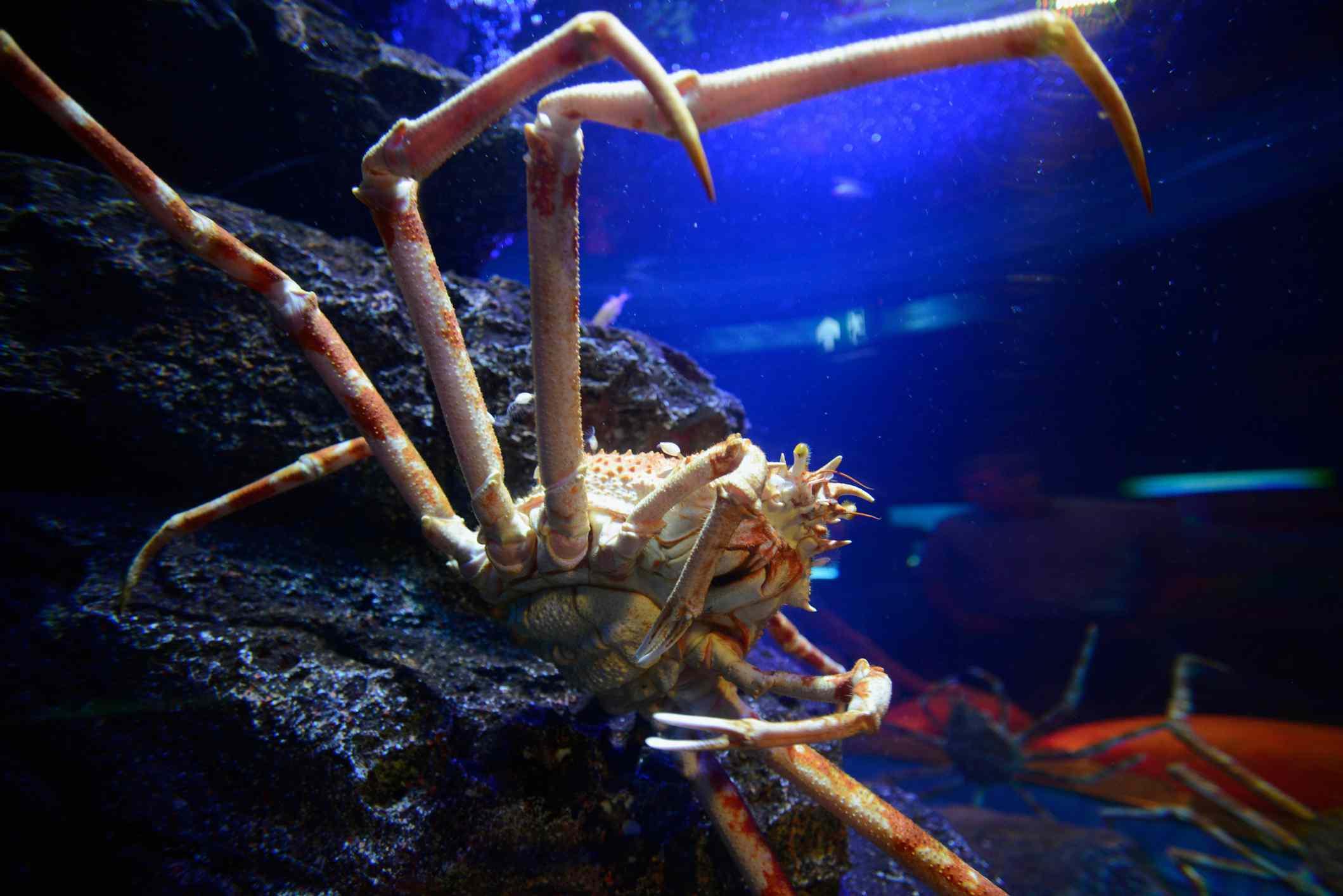 Close-Up Of Spider Crab with very long legs In Aquarium