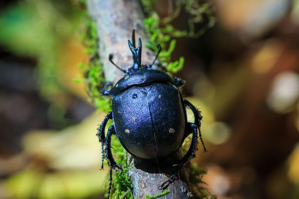 A black dung beetle walks across a branch