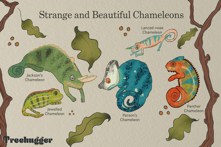 strange and beautiful different species chameleon illustration
