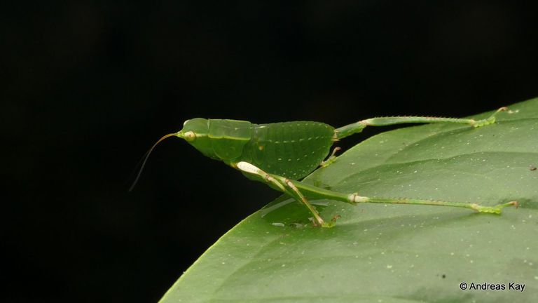 Close up of katydid nymph on a leaf