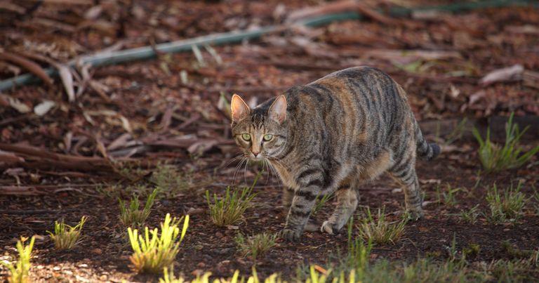 Australia crea la valla a prueba de gatos más grande del mundo