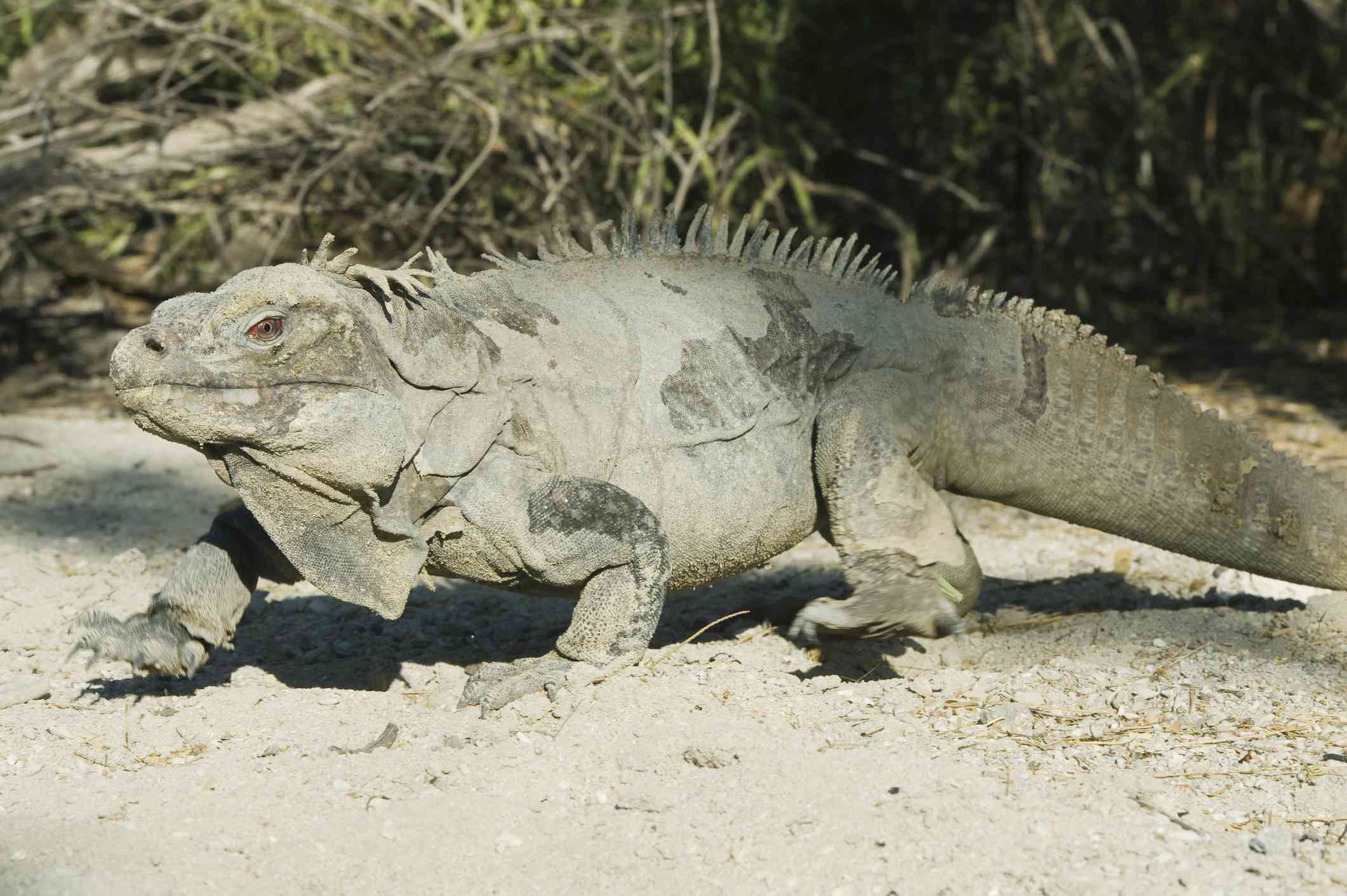 Ricord's Rock Iguana