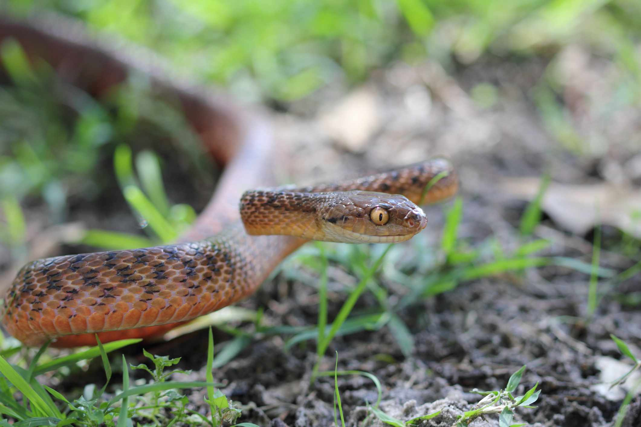 A brown snake with yellow eyes in a defensive posture in grass