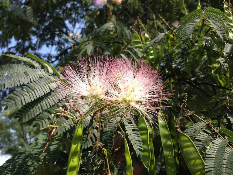 Closeup of Albizia julibrissin foliage, flowers and immature fruit