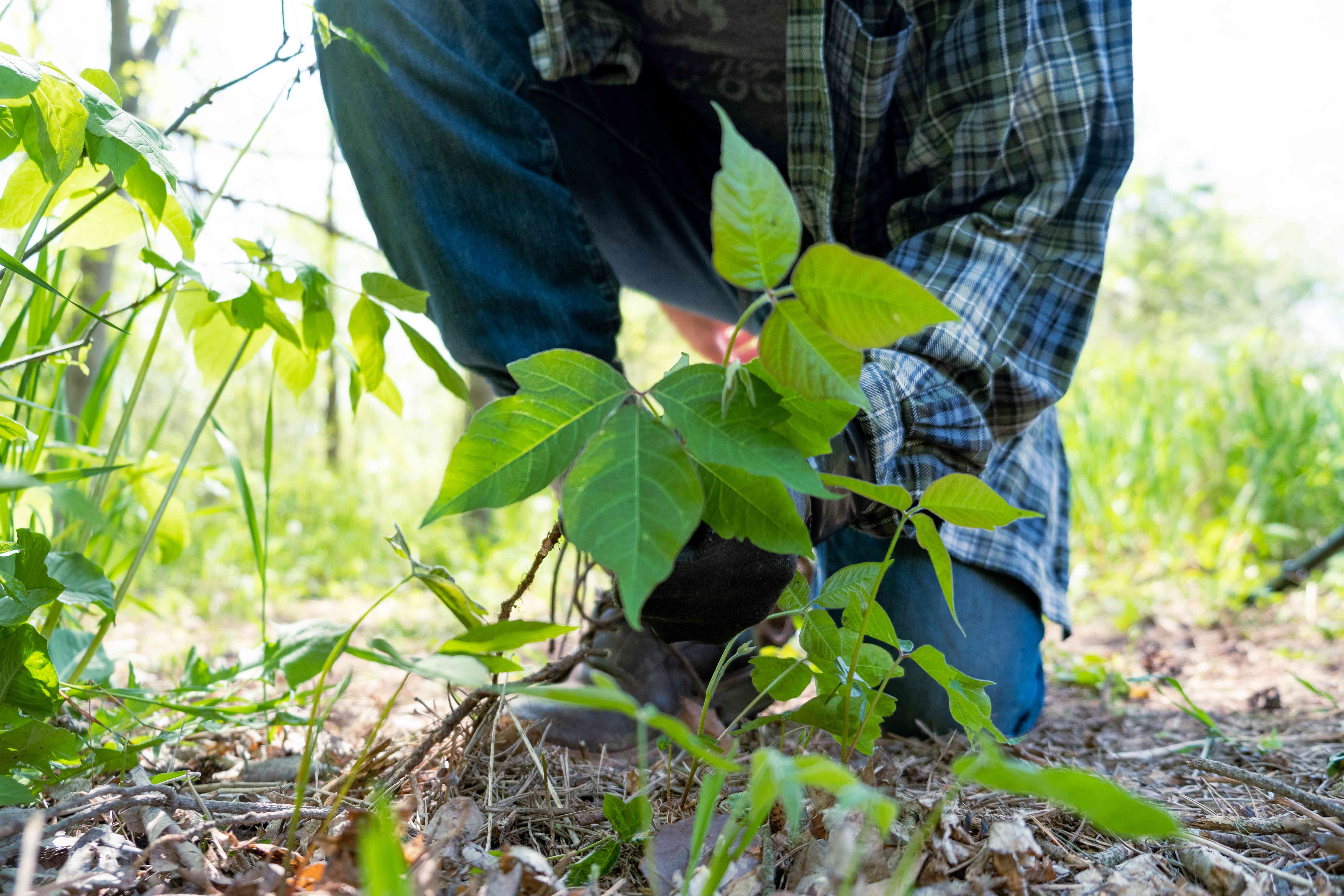 ground view of person in long sleeves and gloves pulling out poison ivy from ground
