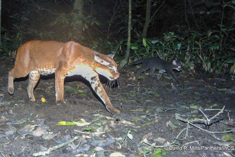 Raras gatitas africanas de gato dorado fotografiadas por primera vez