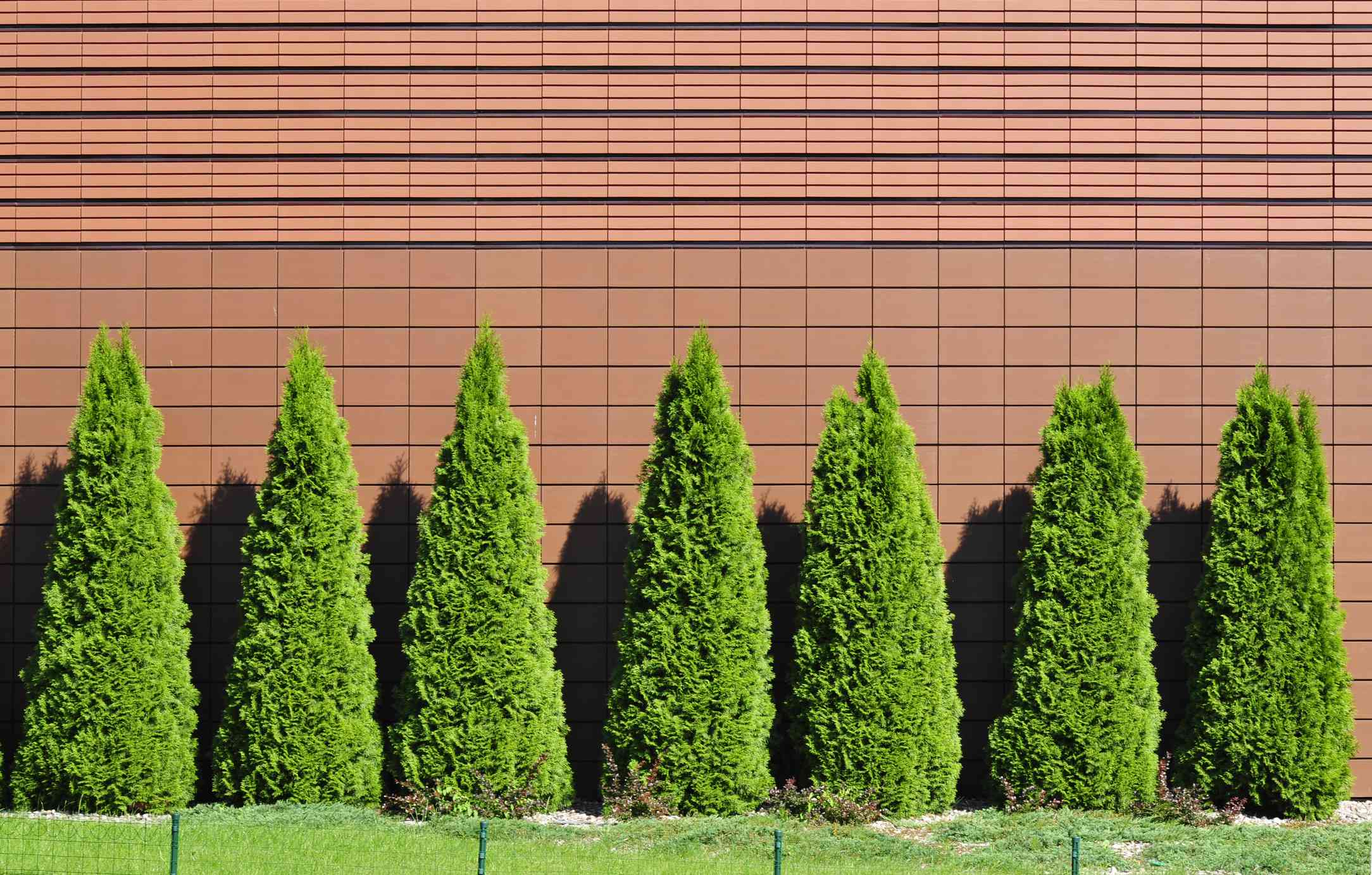 Row of arborvitae against a red wall
