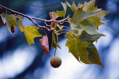 American Sycamore seed ball hanging from a tree in the fall.