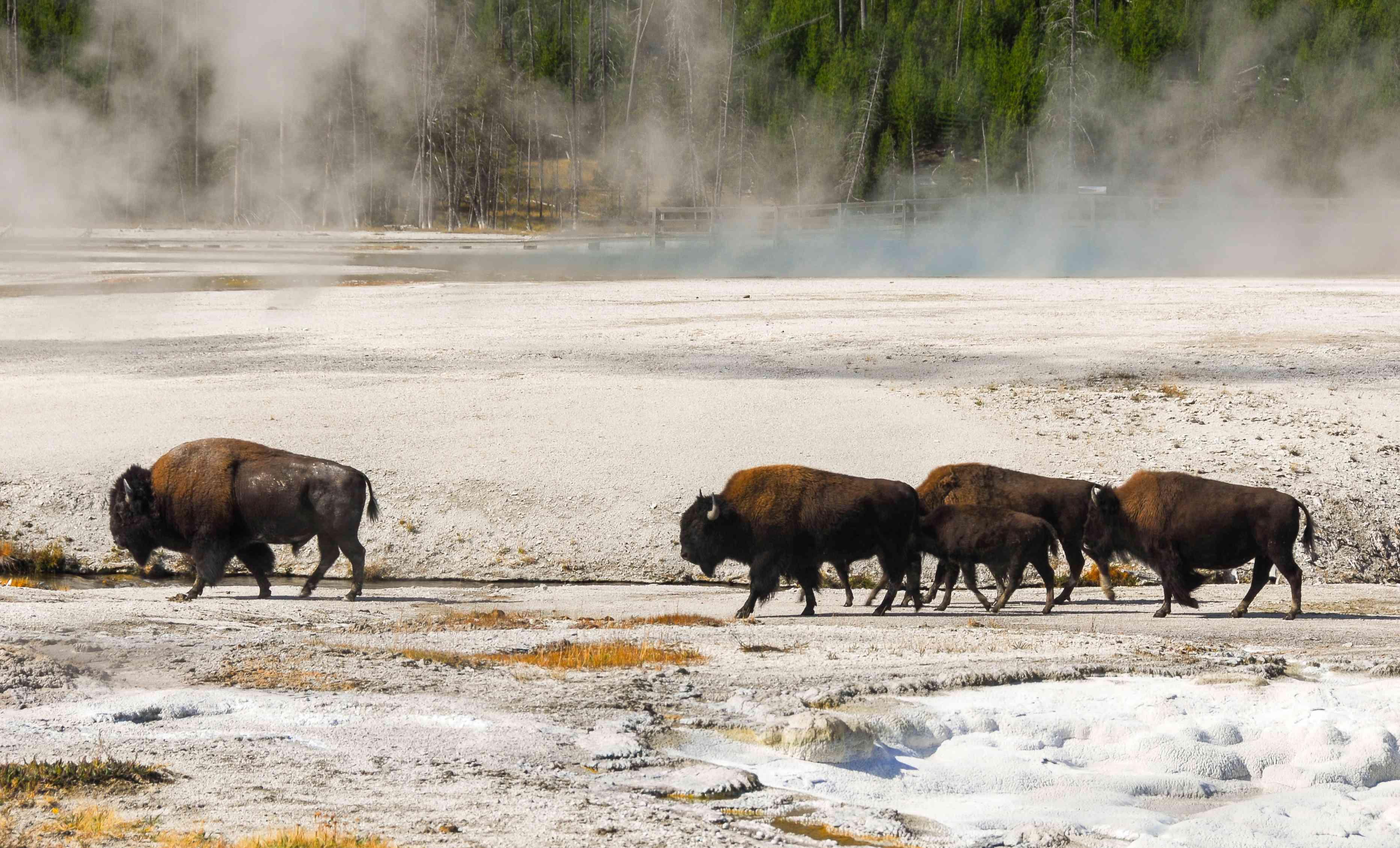 Bison walking through Black Sand Basin
