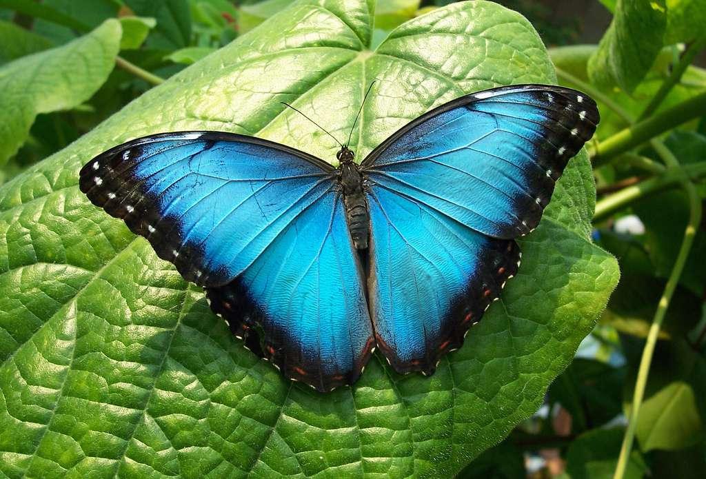 brilliant blue morpho butterfly resting on leaf