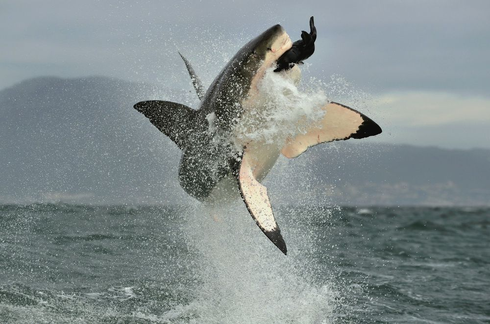 Great white sharks are famous for breaching while catching seals.