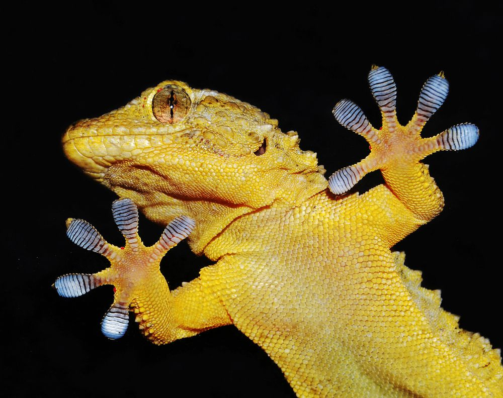 The specialized toe pads of geckos allow them to run along the slick surfaces.