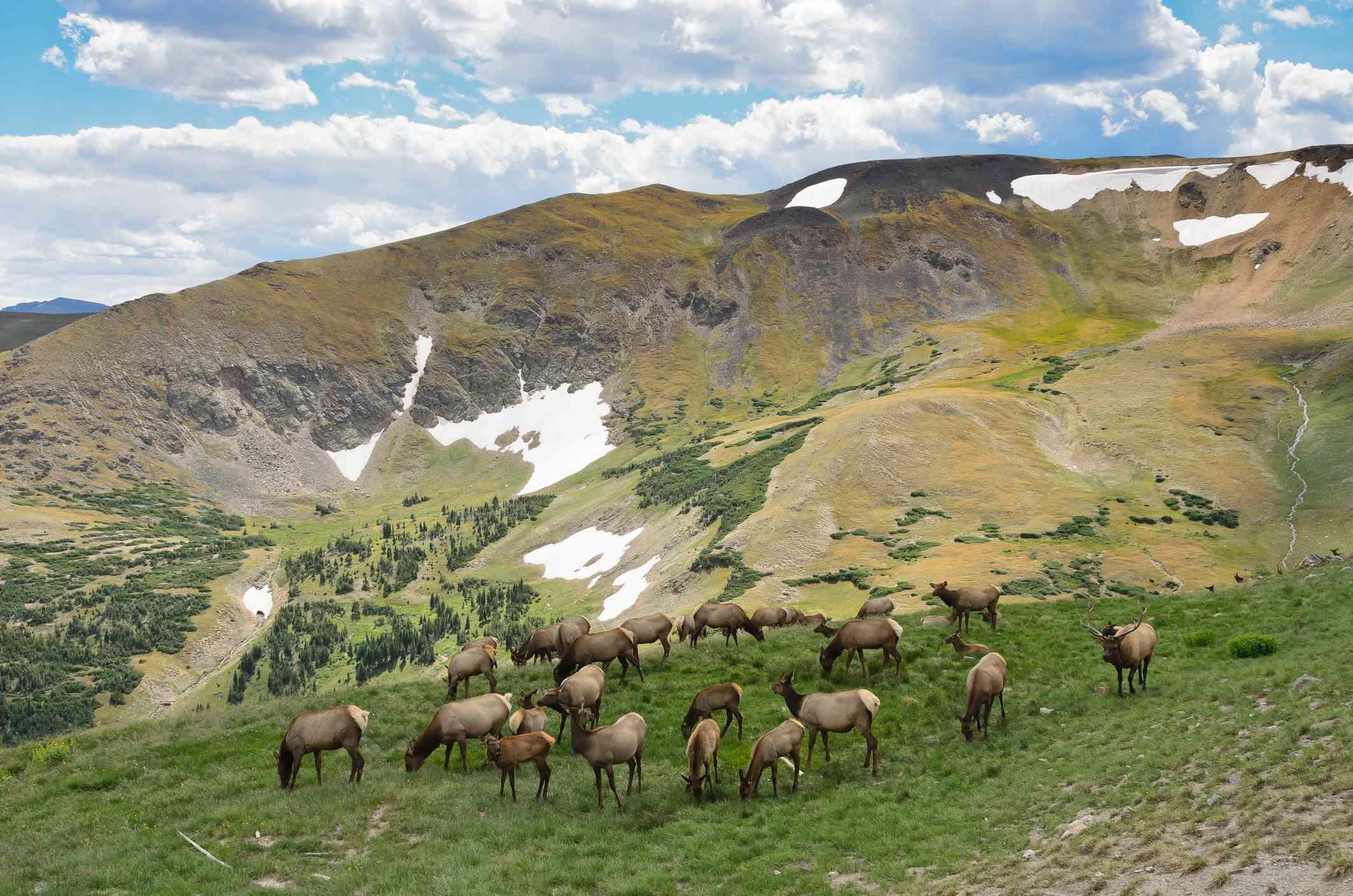 Elk deer grazing grass on Rocky Mountain National Park.