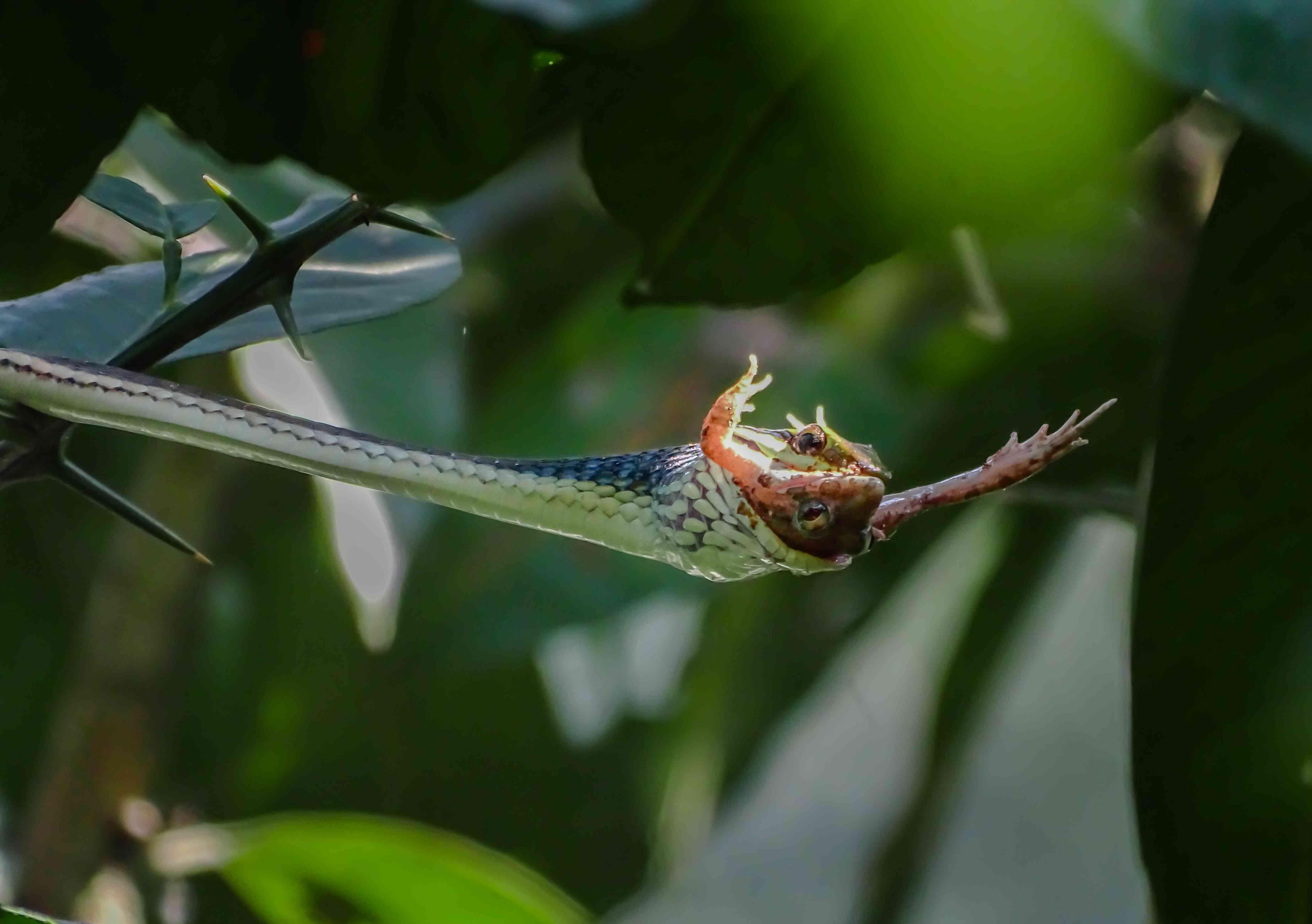 a brozeback tree snake killed a frog